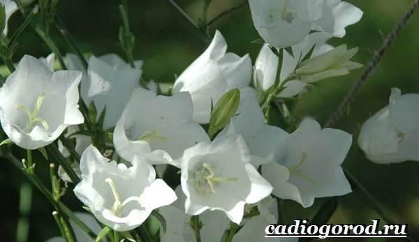 Колокольчики-цветы-Описание-виды-и-выращивание-колокольчиков-31