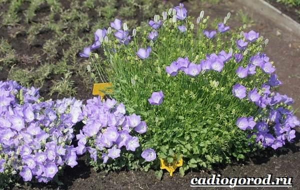 Колокольчики-цветы-Описание-виды-и-выращивание-колокольчиков-33
