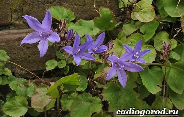 Колокольчики-цветы-Описание-виды-и-выращивание-колокольчиков-34