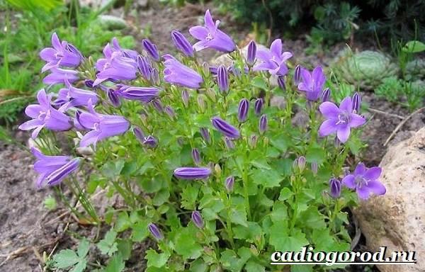 Колокольчики-цветы-Описание-виды-и-выращивание-колокольчиков-35