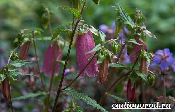 Колокольчики-цветы-Описание-виды-и-выращивание-колокольчиков-36