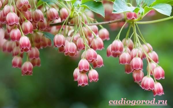 Колокольчики-цветы-Описание-виды-и-выращивание-колокольчиков-8