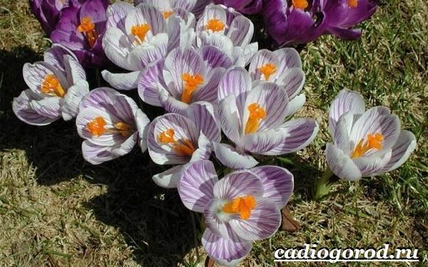 Крокус-цветок-Выращивание-крокуса-Уход-за-крокусом-10