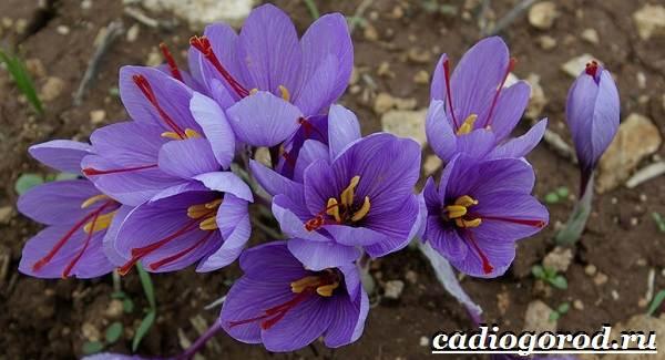 Крокус-цветок-Выращивание-крокуса-Уход-за-крокусом-14