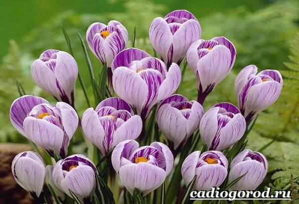 Крокус-цветок-Выращивание-крокуса-Уход-за-крокусом-6-1
