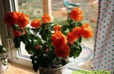 Кроссандра цветок. Выращивание кроссандры. Уход за кроссандрой