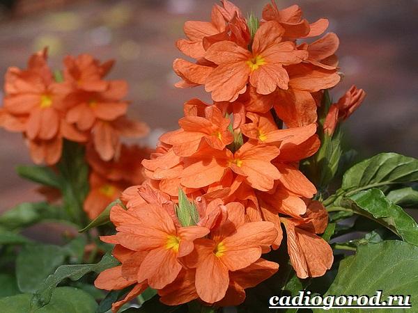 Кроссандра-цветок-Выращивание-кроссандры-Уход-за-кроссандрой-20