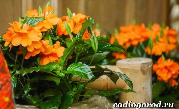 Кроссандра-цветок-Выращивание-кроссандры-Уход-за-кроссандрой-22
