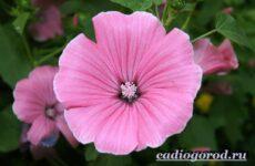 Лаватера цветы. Описание, особенности, виды и уход за лаватерой