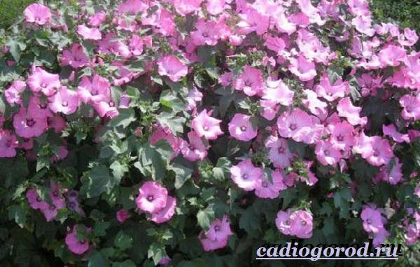 Лаватера-цветы-Описание-особенности-виды-и-уход-за-лаватерой-11