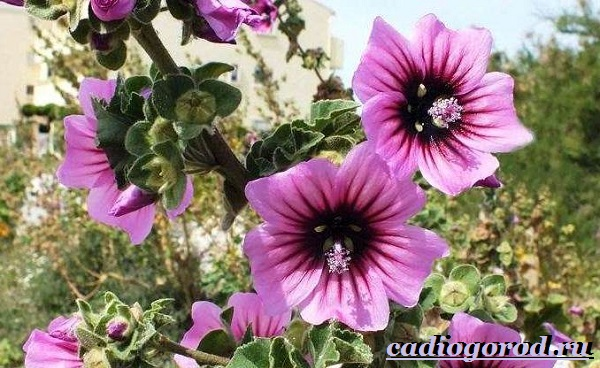 Лаватера-цветы-Описание-особенности-виды-и-уход-за-лаватерой-12
