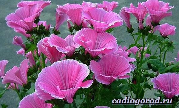 Лаватера-цветы-Описание-особенности-виды-и-уход-за-лаватерой-13