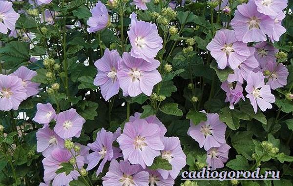 Лаватера-цветы-Описание-особенности-виды-и-уход-за-лаватерой-15
