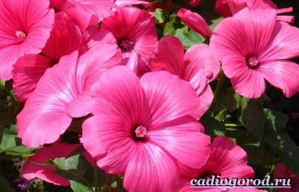 Лаватера-цветы-Описание-особенности-виды-и-уход-за-лаватерой-21