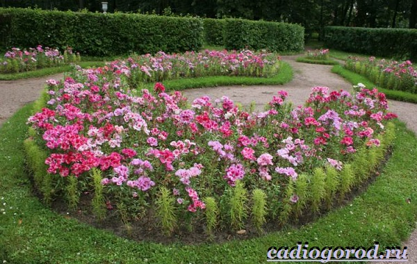 Лаватера-цветы-Описание-особенности-виды-и-уход-за-лаватерой-24