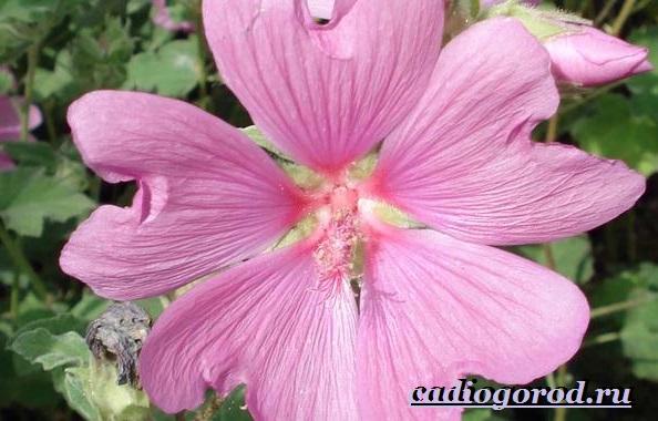 Лаватера-цветы-Описание-особенности-виды-и-уход-за-лаватерой-4