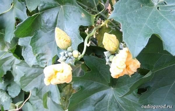 Люффа-мочалка-растение-Описание-особенности-виды-и-уход-за-люффой-18