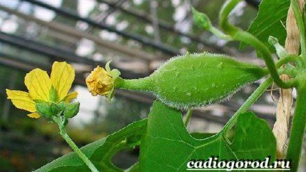 Люффа мочалка растение. Описание, особенности, виды и уход за люффой