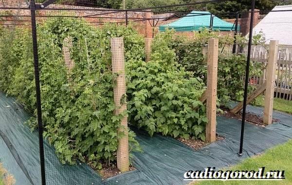 Малина-ягода-Выращивание-малины-Уход-за-малиной-19