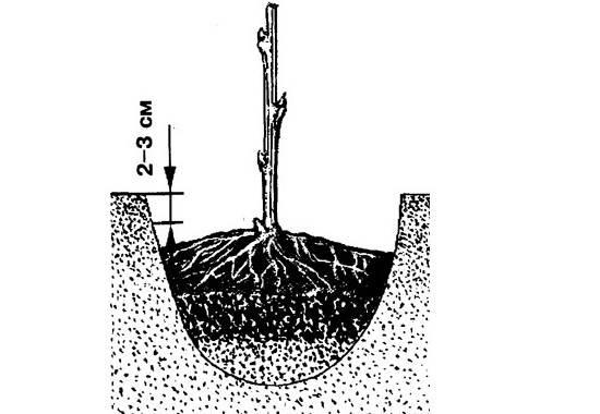 Малина-ягода-Выращивание-малины-Уход-за-малиной-31-1