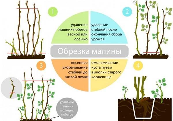 Малина-ягода-Выращивание-малины-Уход-за-малиной-35