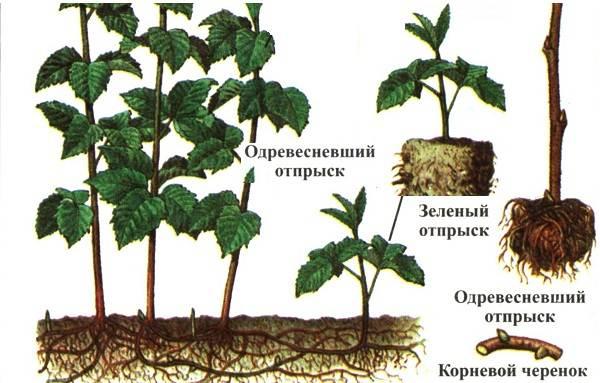 Малина-ягода-Выращивание-малины-Уход-за-малиной-36