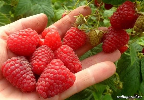 Малина-ягода-Выращивание-малины-Уход-за-малиной-38