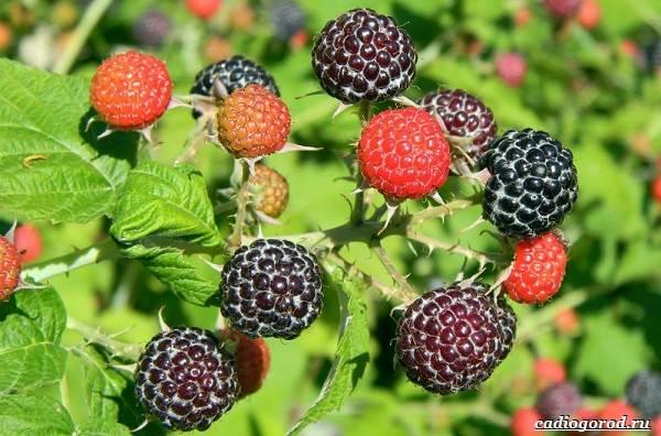Малина-ягода-Выращивание-малины-Уход-за-малиной-39