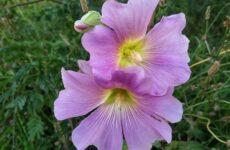Мальва цветок. Описание, особенности, виды и уход за мальвой