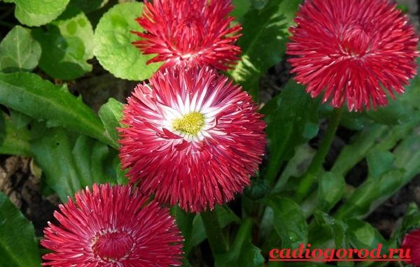 Маргаритки-цветы-Описание-особенности-уход-и-виды-маргариток-13