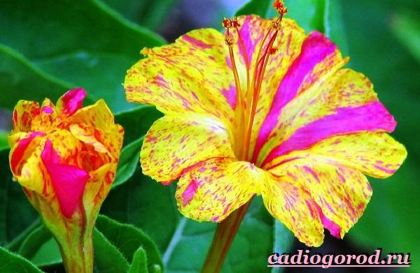 Мирабилис-цветок-Описание-особенности-виды-и-уход-за-мирабилисом-13
