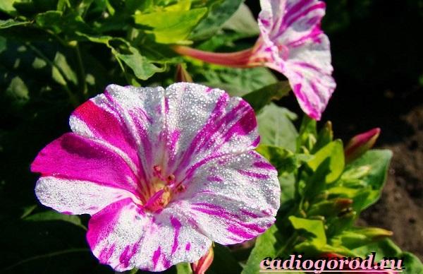 Мирабилис-цветок-Описание-особенности-виды-и-уход-за-мирабилисом-14