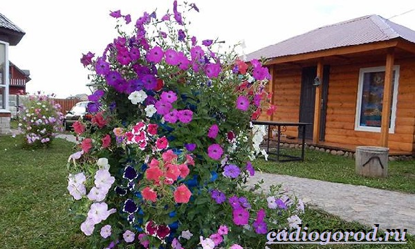 Мирабилис-цветок-Описание-особенности-виды-и-уход-за-мирабилисом-19