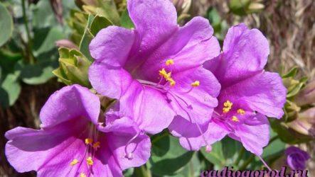 Мирабилис цветок. Описание, особенности, виды и уход за мирабилисом