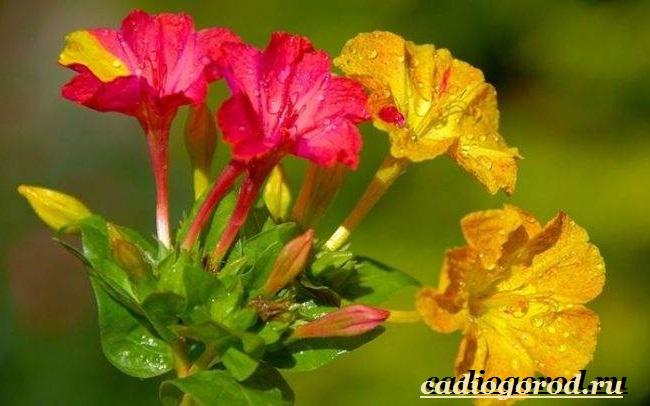 Мирабилис-цветок-Описание-особенности-виды-и-уход-за-мирабилисом-8