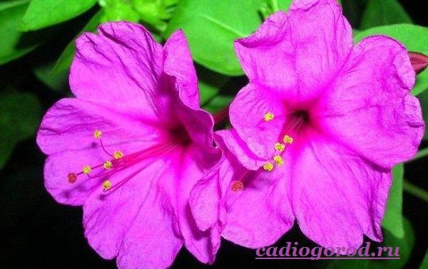 Мирабилис-цветок-Описание-особенности-виды-и-уход-за-мирабилисом-9