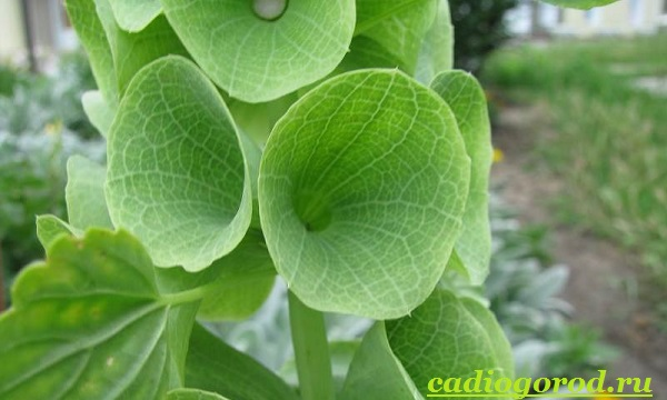 Молюцелла-цветок-Описание-особенности-виды-и-уход-за-молюцеллой-7