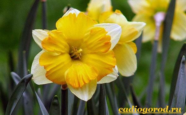 Нарцисс-цветок-Выращивание-нарцисса-Уход-за-нарциссом-10