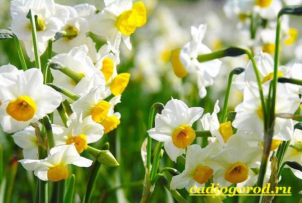 Нарцисс-цветок-Выращивание-нарцисса-Уход-за-нарциссом-13