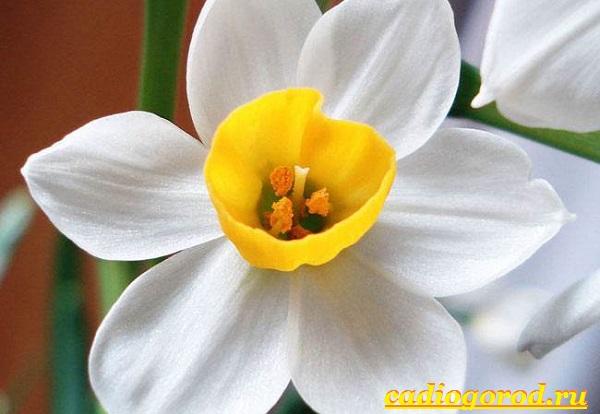 Нарцисс-цветок-Выращивание-нарцисса-Уход-за-нарциссом-14