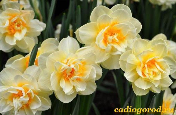 Нарцисс-цветок-Выращивание-нарцисса-Уход-за-нарциссом-15