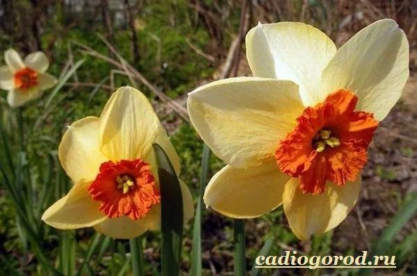 Нарцисс-цветок-Выращивание-нарцисса-Уход-за-нарциссом-17