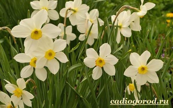 Нарцисс-цветок-Выращивание-нарцисса-Уход-за-нарциссом-4