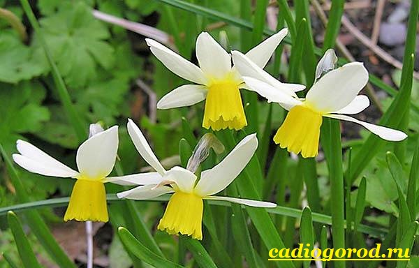 Нарцисс-цветок-Выращивание-нарцисса-Уход-за-нарциссом-6