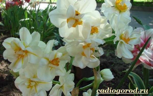 Нарцисс-цветок-Выращивание-нарцисса-Уход-за-нарциссом-7