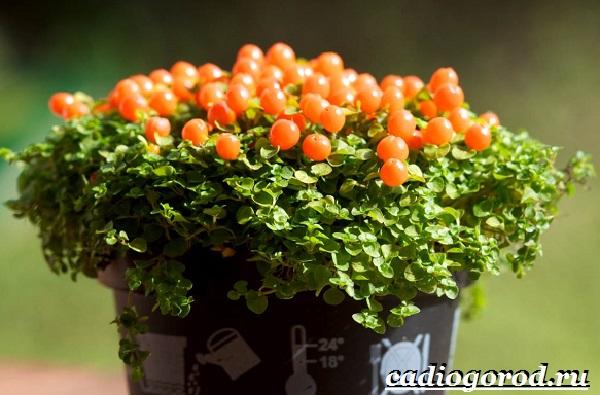 Нертера-цветок-Описание-особенности-виды-и-уход-за-нертерой-1