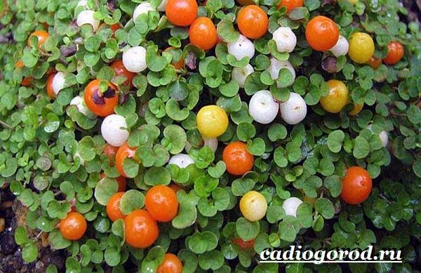 Нертера-цветок-Описание-особенности-виды-и-уход-за-нертерой-12