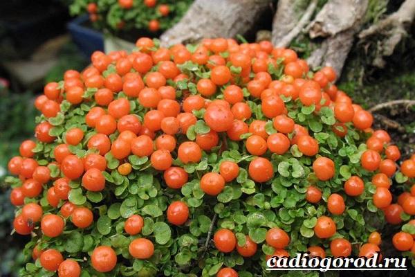 Нертера-цветок-Описание-особенности-виды-и-уход-за-нертерой-3