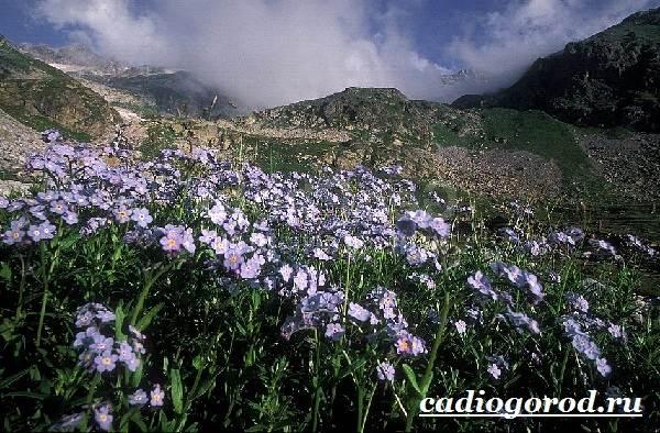 Незабудка-цветок-Выращивание-незабудок-Уход-за-незабудками-10
