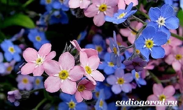 Незабудка-цветок-Выращивание-незабудок-Уход-за-незабудками-12